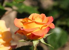 02-IMG_4209 (hemingwayfoto) Tags: rose flora pflanze gelb blume blte stadtpark botanik blhen duftend australiangold rosengewchs beetrose