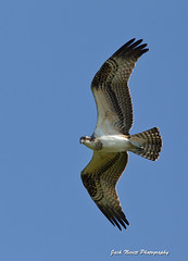 Osprey Flyover (Jack Nevitt) Tags: birds preening mating chicks hungry bathing waterfowl tern osprey