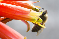 Barbadensis - Aloe Vera flower in bloom being pollinated by Bees (Alvimann) Tags: flowers abejas orange plant black flores flower color colour verde green planta rayas colors yellow work garden fly flying trabajo wings aloe colours stripes bees small negro flor wing stripe jardin colores amarillo honey obrero tiny ala alas polen miel worker raya pollen abeja vera naranja striped pequea pequeo workerbee greenish aloevera anaranjado pollinate volar yellowish rayado pollinated obrera rayada barbadensis verdoso amarillento volanto abejaobrera alvimann barbadensisaloeveraflowerinbloom