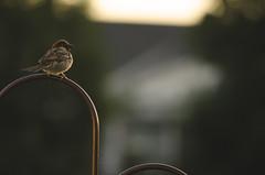 Sit and Ponder (flashfix) Tags: ontario canada bird nature animal sunrise dawn nikon bokeh ottawa earlymorning negativespace perched swallow mothernature 2015 backyardphotography d7000 nikond7000 55mm300mm 2015inphotos july162015