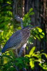Green Heron at Kenilworth (dngovoni) Tags: bird water closeup dc background wildlife aquatic greenheron