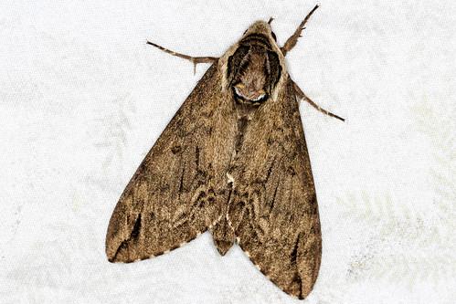 Ceratomia catalpae - Catalpa Sphinx - Hodges#7789