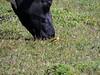 Yellow Wagtail (Mike+Zahra) Tags: africa bird cattle kenya nandi motacillidae commensalism taxonomy:binomial=motacillaflava