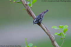 Black & White Warbler!! (Anupam Dash Photography) Tags: camera wild canada color bird nature water colors beauty birds clouds canon adult song wildlife north northamerica birdwatching avian anupam warbler wildlifephotographer songbird songbirds naturephotography blackandwhitewarbler northamericanbirds naturesfinest naturecanada canon500mmf4 canon1dmarkiv birdsofontario anupamdash anupamdashphotography