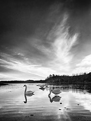 Peaceful morning, Norway (Vest der ute) Tags: g7x norway rogaland røyksund reflections mirror seascape sea water landscape serene swans clouds sky trees earlymorning fav25