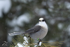 Snow day (Seventh day photography.ca) Tags: greyjay whiskyjack bird jay animal nature snow winter wildanimal wildlife ontario canada