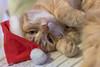 Week 49, 3x50 project (cindydebree.nl) Tags: 3x50 kat katze kater rodekater huisdier huisdierenfotografie huiskat pet kerst kerstmuts kerstsfeer christmas 50mm 50mm118ii plasticfantastic niftyfifty canonnl canoneos100d canon