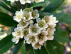 Pyracantha angustifolia (Franch.) C.K. Schneid. 1906 (ROSACEAE) (helicongus) Tags: pyracanthaangustifolia pyracantha rosaceae jardínbotánicodeiturraran spain