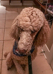 349º (Perry McKenna) Tags: dog poodle standardpoodle spoo redpoodle pendragon snow stickysnow walk wetsnow heavysnow winter thelook