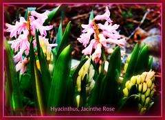 Hyacinthus, Jacinthe Rose (Only time heals wounds) Tags: 20160609nouveaumonde monjardinde11ans 20052016 flowers gardenof11years printemps hyacinthus jacintherose