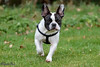 Belle (parry101) Tags: dog dogs pet pets south wales field french bulldog outdoor outside run running animals animal frenchie