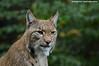 Eurasian lynx - Zoo Duisburg (Mandenno photography) Tags: dierenpark dierentuin dieren duitsland germany animal animals lynx luchs eurasian zoo zooduisburg duisburg