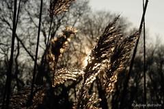 Sunset of Winter (Sockenhummel) Tags: schloscharlottenburg schlospark sonne sonnenuntergang sunset wintersunset wintersonne gras schilf ufer abendsonne park garten garden gegenlicht fuji x30 fujifilm finepix fujix30