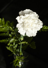 white carnation in vase (Shotaku) Tags: flowers flower macro closeup vases bouquets white carnations onblack