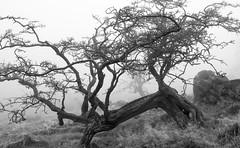 Gnarled Hawthorn, Wycoller (ProspectMik) Tags: tree hawthorn wycoller lancashire twisted winter nikon gnarly blackandwhite