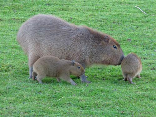 South Lakes Zoo - capybara babies (2)