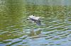Taking Flight (craigsanders429) Tags: birds flying vermilionohio vermilionriver water waterways waterfowl blueheron rivers greatblueheron