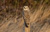 Short Eared Owl (cogs2011) Tags: short eared owl post sitting eyes yellow