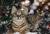 (Anny-justme) Tags: cat animal portrait blur broken background wishes hope christmas tree decoration kitty eyes light little tiger fur winter advent xmas
