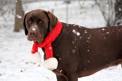Hunter (Explore.Appreciate.Love.Inspire) Tags: dog lab puppy chocolate labrador winter snow labradorretriever chocolatelabrador huntersadventures