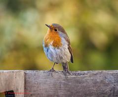 Is this my best side? (TDR Photographic) Tags: canon dorset england robinhoodsbay thedorsetrambler uk bird eos5d garden light possibles