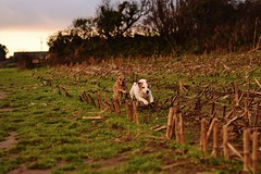 Super fast (Eiran Lapham) Tags: dog sunset sky sun jackrussel field run afternoon flower house grass photography hdr nikon nikkor 50mm 18g dogs