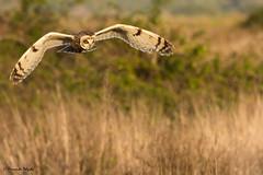 Coruja do Nabal em caça (Asio flammeus) (Fernando Delgado) Tags: algarve asioflammeus aves birds birdwatching coruja corujadonabal parquenaturalriaformosa owl shortedearedowl