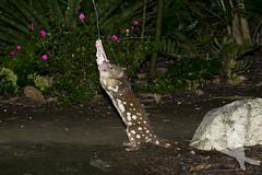 Spot-tailed Quoll - Dasyurus maculatus (Wildsearch) Tags: dasyurusmaculatus endangered guestwick mammals nsw spottailedquoll spottedtailedquoll threatenedspecies