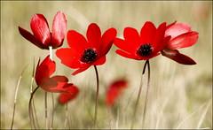 anemones-windflowers (maria xenou I photodromos) Tags: wildeblumen wildflower redanemones greece peloponnese mittelmeer wind sunlight sonnenlicht nature natur mediterranean moments momente colors farben ανεμωνεσ φυση στιγμεσ ανεμοσ χρωματα δυτικηπελοποννησοσ ελλασ ελλαδα χειμωνασ φωσηλιου photodromos fotodromos canoneos1100d blumen flowers rot red macro motion