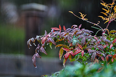 Day 47 ~ more rain (champbass2) Tags: day47 day47365 3652017 day365project 2017 california usa northerncalifornia morerain rainfall winter weather raindrops nandina