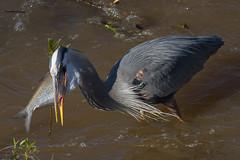 IMG_2955 Heron swallowing a shad (cmsheehyjr) Tags: bird heron nature virginia wildlife richmond jamesriver floodwall colemansheehy cmsheehy