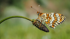 Glanville Fritillary (Mike Prince) Tags: france butterflies lepidoptera languedocroussillon nymphalidae glanvillefritillary butterfliesandmoths insectsandspiders grottedelimousis melitaeacinxia fritillariesnymphalidsandbrowns