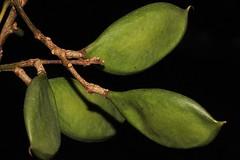 Millettia pinnata (andreas lambrianides) Tags: fabaceae australianflora australiannativeplants pongamiapinnata pongam australianrainforests australianrainforestplants millettiapinnata qrfp ntrfp arffs australianrainforestfruits indianbeech pongamiatree indianpongamia australianrainforestseeds greenarffs littoralarf cyrfp australianrainforestfruitsandseeds pongamiaglabravarminor pongamiapinnatavartypica
