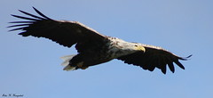 White tailed eagle (K. Haagestad) Tags: bird eagle majestic birdofprey whitetailedeagle havørn