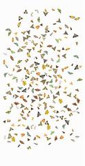 Myanmar Moths light-sheet collage (Scrubmuncher) Tags: