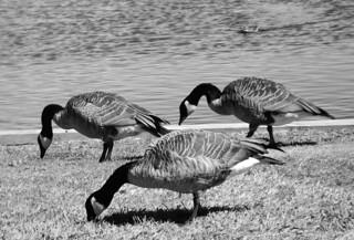 Canada Geese at Hamilton Lake