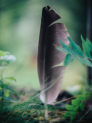 (miemo) Tags: summer nature grass leaves finland europe bokeh feather olympus voigtlnder omd mntyharju etelsavo voigtlndernokton425mmf095 em5mkii