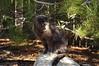 On a Rock (Narodnie Mstiteli) Tags: cat pineforest greycat graycat donbachman marshalarts sidmarshal rock reno nevada