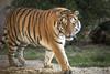 Aljoscha (DeanB Photography) Tags: zoo hannover canon 5dmkiii tiger anjoscha nürnbergertiger raubkatze raubtier tier animal gefährlich animals katze cat