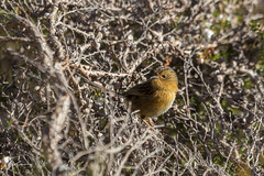 Southern Emu-wren (R. Francis) Tags: stipiturusmalachurus southernemuwren franklinriver ryanfrancis ryanfrancisphotography tasmania tasmanianhighlands tassie