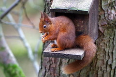 Red Squirrel (eric robb niven) Tags: ericrobbniven scotland redsquirrel wildlife nature dunkeld