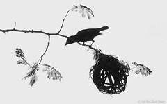 Weaver bird (Sue MacCallum-Stewart) Tags: bird maratarba southafrica weaverbird nature wildlife nest