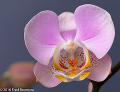 """Phalaenopsis"" (A.J. Boonstra) Tags: phalaenopsis flower flowers indoor closeup macro ef100mmf28lmacroisusm canon70d canoneos canon falconeyesskk2150d jinbeiwhiteumbrella westcottsilverumbrella"