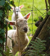 Peek a Boo (naturelass) Tags: devon fz1000 firebeaconhill winter walk animal sunshine nature rural countryside