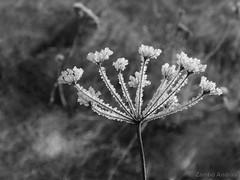 """Iceflower"" (andraszambo) Tags: ice flower winter cold plant jég virág növény frost fagy kalt eis pflanz blumen blackandwhite monocrome monochrome organic pattern outdoor"