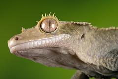 Crested Gecko, CaptiveLight, Bournemouth, Dorset, UK (rmk2112rmk) Tags: crestedgecko captivelight bournemouth dorset uk gecko reptile herps bokeh macro correlophusciliatus