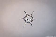 Silicoflagellate Distephanus/Dictyocha speculum (Micromundus) Tags: silicoflagellate distephanus dictyocha speculum golden algae silicon silica spike flagellate marine plankton