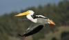 LakeChabot_123116_232 (kwongphotography) Tags: lakechabot castrovalley birds calif americanwhitepelican pelican wildlifephotography nature naturephotography wildlife birdsinflight unitedstates