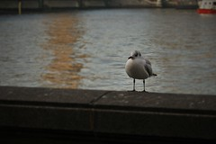Seagull on the Thames (phoebe.horner) Tags: london city cityscape metal architecture building buildings cloudy cloud lights bridge bridges refelction reflections bus buses central cities tube underground tfl transport map seagull bird birds animal animals wildlife thames river rivers cold