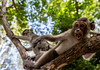 Monkey do, monkey don't. (OpersembeArt) Tags: ruins cambodia canoneos700d canon700d canoneos canon green sun sky blue siem reap eos 700d landscape vegetation monkey macaca animal tree